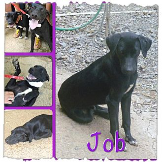 Labrador Retriever Mix Dog for adoption in Toa Alta, Puerto Rico - Job
