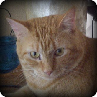 Domestic Shorthair Cat for adoption in Weatherford, Texas - Thomas