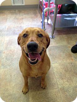 Labrador Retriever Mix Dog for adoption in Cumming, Georgia - Joe