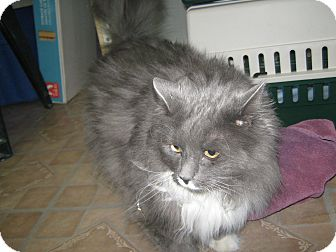 Domestic Longhair Cat for adoption in Elliot Lake, Ontario - Gizzy