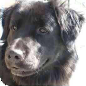 Flat-Coated Retriever Mix Dog for adoption in Berkeley, California - Dakota