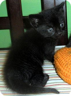 Domestic Mediumhair Kitten for adoption in Brimfield, Massachusetts - Mr Whiskers