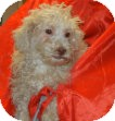 Poodle (Miniature) Puppy for adoption in Antioch, Illinois - Puccini