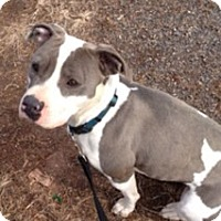 Adopt A Pet :: Taboo - Spring City, PA