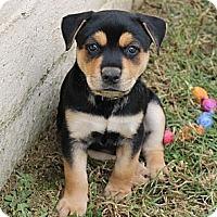 Adopt A Pet :: Scooby - La Habra Heights, CA