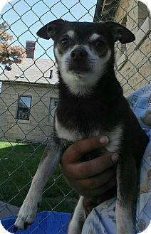 Chihuahua Mix Dog for adoption in Fort Riley, Kansas - Zorak