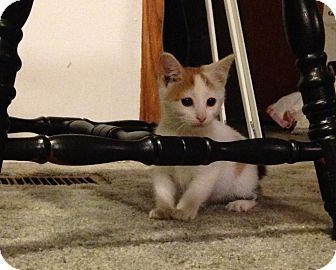 Domestic Shorthair Kitten for adoption in Chilhowie, Virginia - Muffin