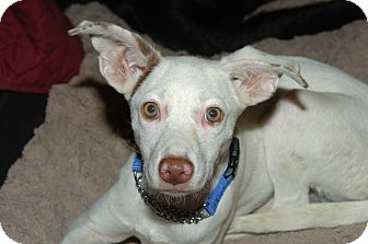 Spaniel (Unknown Type)/Terrier (Unknown Type, Small) Mix Puppy for adoption in North Bend, Washington - Aspen