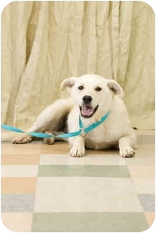Labrador Retriever Mix Dog for adoption in Portland, Oregon - Blanca