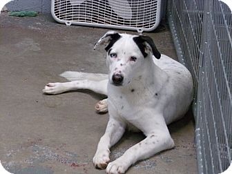 Dalmatian/Border Collie Mix Dog for adoption in Santa Clara, New Mexico - Dakota