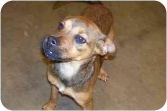 Boxer Mix Puppy for adoption in Osceola, Arkansas - Clyde