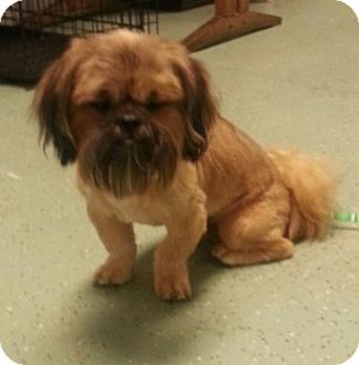 Shih Tzu Dog for adoption in Washington, D.C. - Jester