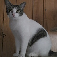 Domestic Shorthair Cat for adoption in San Pablo, California - 2SPOT