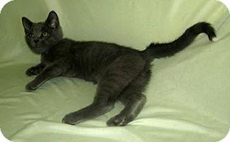 Domestic Shorthair Cat for adoption in Powell, Ohio - Grady
