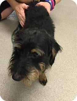 Terrier (Unknown Type, Medium) Mix Dog for adoption in Columbus, Georgia - Dexter 1010