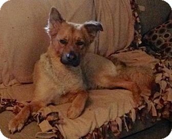 Chow Chow/German Shepherd Dog Mix Dog for adoption in Dover, Tennessee - ANDY