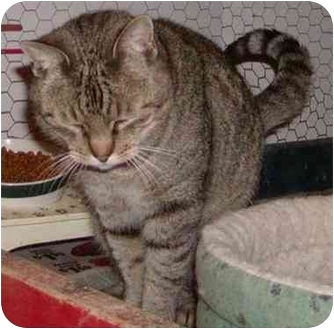 Domestic Shorthair Cat for adoption in Overland Park, Kansas - Shades