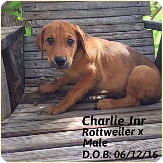 Rottweiler Mix Puppy for adoption in DeForest, Wisconsin - Charlie Jr.