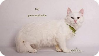 Siberian Kitten for adoption in Corona, California - IZZY