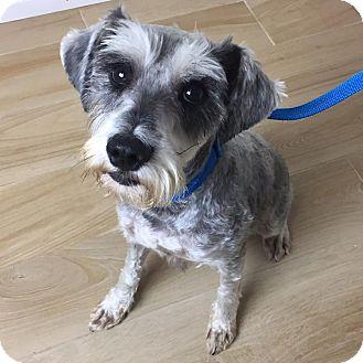 Schnauzer (Miniature) Dog for adoption in Redondo Beach, California - Holmes