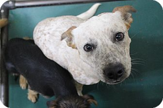 Cattle Dog Mix Dog for adoption in Odessa, Texas - A18 Lance