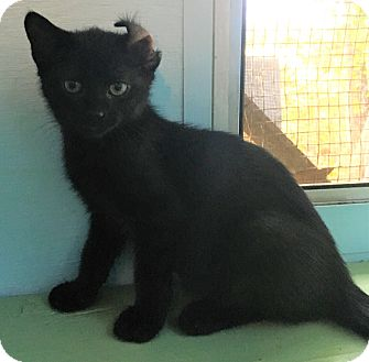 Domestic Shorthair Kitten for adoption in Savannah, Georgia - Bender
