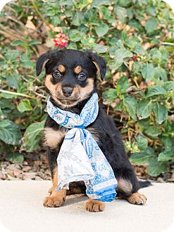 Chihuahua/Dachshund Mix Puppy for adoption in Chandler, Arizona - Hope