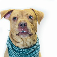 Adopt A Pet :: Buzz - New Castle, PA