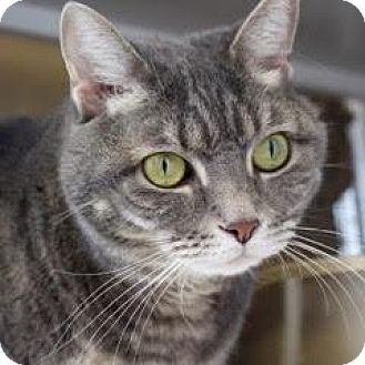 Domestic Shorthair Cat for adoption in Denver, Colorado - Phyllis