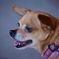 Adopt A Pet :: Chyna - Scottsdale, AZ