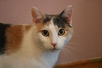 Calico Cat for adoption in Rochester, Minnesota - Unsinkable Molly Brown