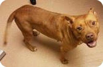 Pit Bull Terrier Mix Dog for adoption in Columbus, Georgia - Ginger 0568