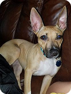 Italian Greyhound/Whippet Mix Dog for adoption in Harrodsburg, Kentucky - Sadie
