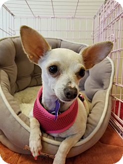 Chihuahua/Terrier (Unknown Type, Small) Mix Dog for adoption in Hamilton, Ontario - Gigi