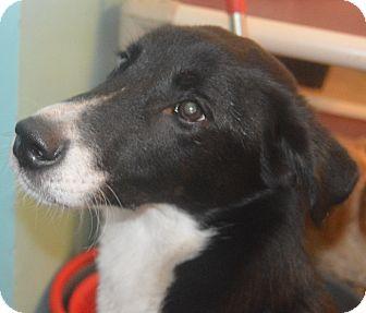 Labrador Retriever/Husky Mix Puppy for adoption in Prole, Iowa - Rudie