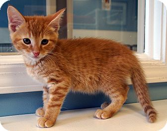 Domestic Shorthair Kitten for adoption in Maynardville, Tennessee - Ginger