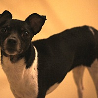 Rat Terrier/Manchester Terrier Mix Dog for adoption in Port Clinton, Ohio - SUE LEIGH