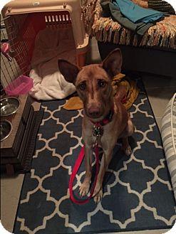 Pharaoh Hound Mix Dog for adoption in Vancouver, British Columbia - Luda