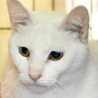 Domestic Shorthair/Domestic Shorthair Mix Cat for adoption in Tilton, Illinois - Shermie