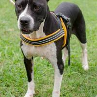 Adopt A Pet :: Peyton - Greenwood, SC