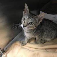 Adopt A Pet :: Splenda - Miami, FL