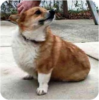 Corgi Dog for adoption in Osseo, Minnesota - Teddy