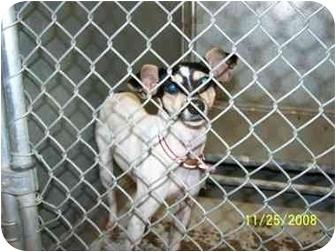 Rat Terrier Mix Dog for adoption in Brighton, Tennessee - Birdie