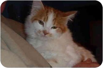 Domestic Longhair Kitten for adoption in Aldie, Virginia - Meg