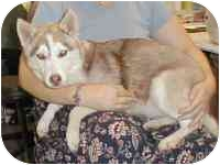 """Husky/American Eskimo Dog Mix Dog for adoption in Various Locations, Indiana - """"Bambi is Urgent"""""""