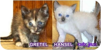 Siamese Kitten for adoption in Cedar Creek, Texas - Hansel & Gretel