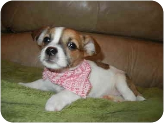 Maltese/Beagle Mix Puppy for adoption in Hartford, Connecticut - Alex