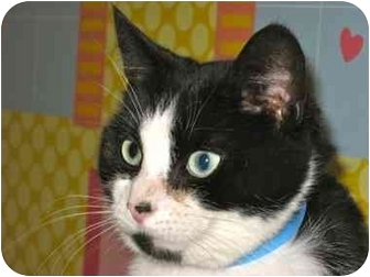 Domestic Shorthair Cat for adoption in Plymouth, Massachusetts - Domino