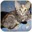 Photo 3 - Domestic Shorthair Kitten for adoption in Taylor Mill, Kentucky - Clover