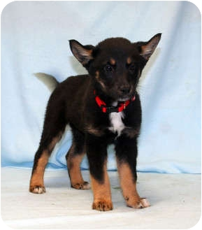 Border Collie/Shepherd (Unknown Type) Mix Dog for adoption in Westminster, Colorado - Eagle